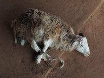 Vorbereitung für das Familien-Ritual. Opfer - Schafe werden eingekauft. Ouida, Benin.